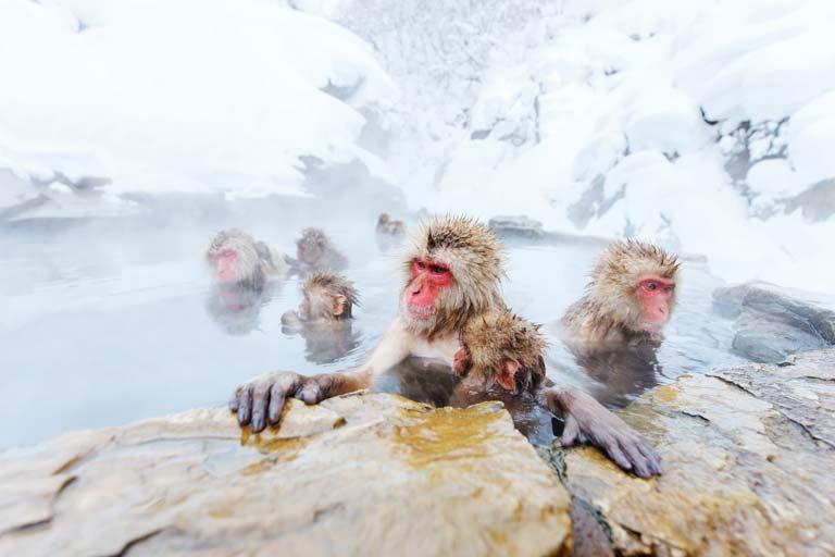 Singe des neiges au Japon